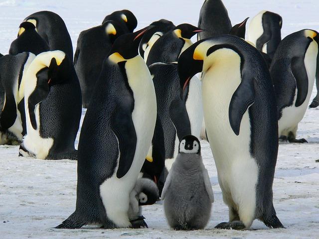pinguini sono animali molto fedeli e, quando si avvicina il periodo